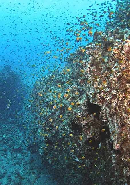 blacklip butterflyfish, Maui
