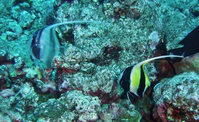 newly settled Moorish Idol fro blog