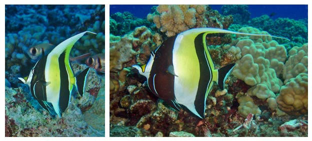 Young and adult Moorish Idols