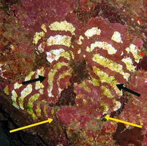 Coralline algae target - thicker rings both  arrows