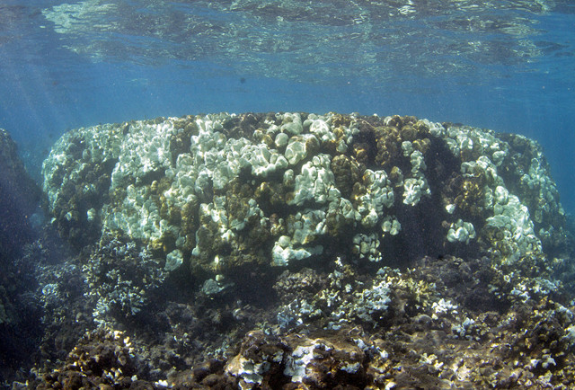 Olowalu 500 year old colony Oct. 3, 2015 for blog