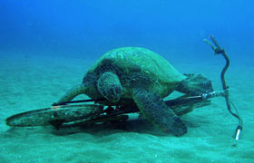 Sea Turtle with Bicycle