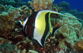 maui angel fish