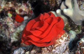 Spanish Dancer nudibranch egg mass