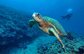 sea turtle with scuba diver