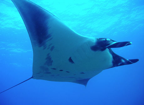 Maui Manta Ray during scuba diving