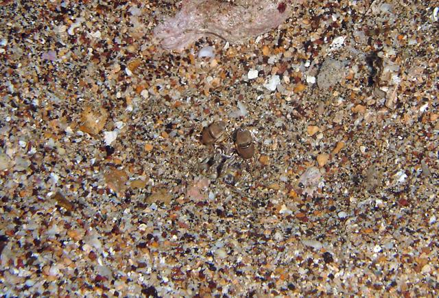 Giant Mantis Shrimp in hole