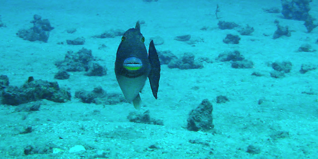 Bridled Triggerfish defending her eggs