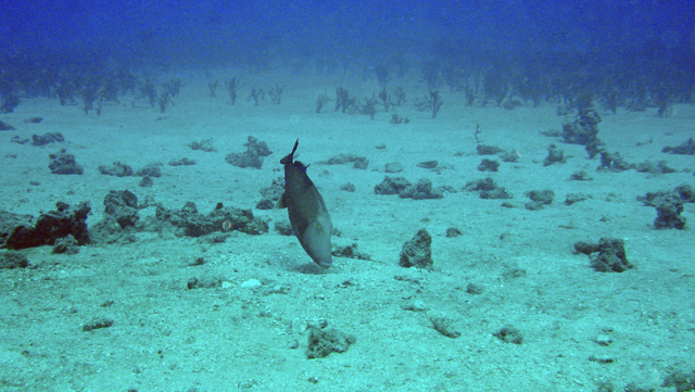 Bridled triggerfish fanning her eggs